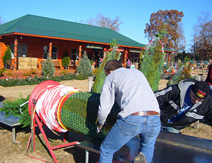 Pick your own and cut your own fresh Christmas trees right on the farm, Reasonable Prices for Fresh Christmas Trees at Motley's Christmas Tree Farm, Little Rock Arkansas