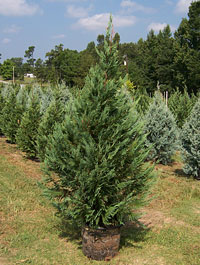 Buying your Christmas trees with roots in the container allows you to use these evergreens to landscape your home for years--see the selection at Motley's Christmas Tree Farm, Little Rock & Central Arkansas