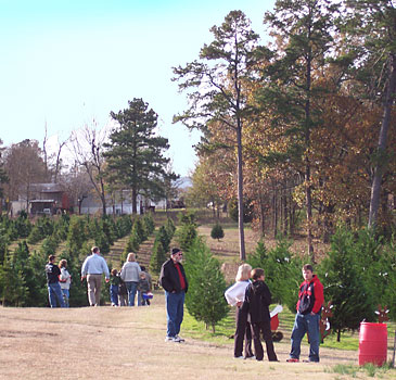 Motley's Christmas tree farm, with fir, pine, cypress and spruce Christmas trees, Little Rock, Arkansas.