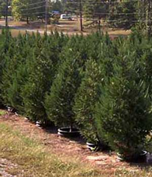 Live Trees are a great way to celebrate Christmas. One of many varieties of trees at Motley's Tree Farm in Little Rock near Pine Bluff, Arkansas